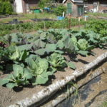 Organic raised bed vegetables
