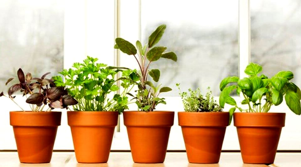 indoor herb garden 5 homegrown herbs basil chives oregano peppermint thyme